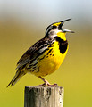 Eastern Meadow Lark