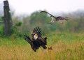 American Bald Eagle and the Osprey